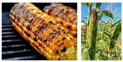 Corn from Romania